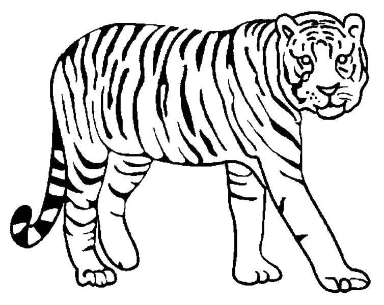 Раскраска Осторожный тигр Скачать ,Животные, тигр,.  Распечатать