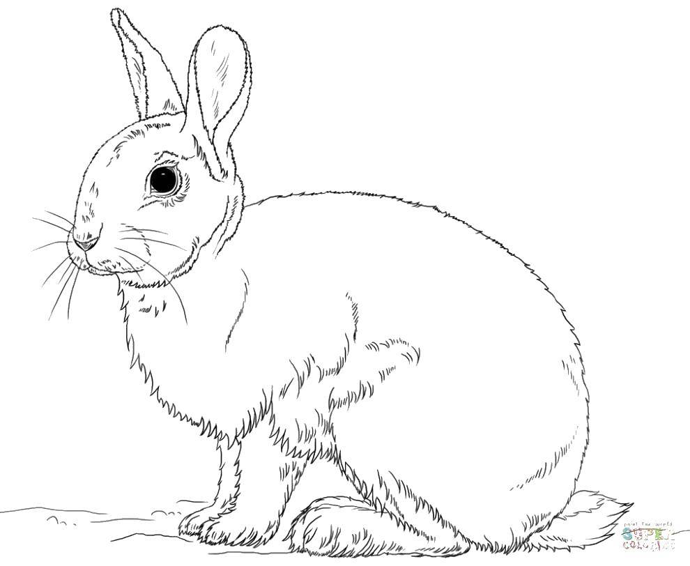 Раскраска Короткие ушки Скачать Животные, зайчик.  Распечатать ,кролик,