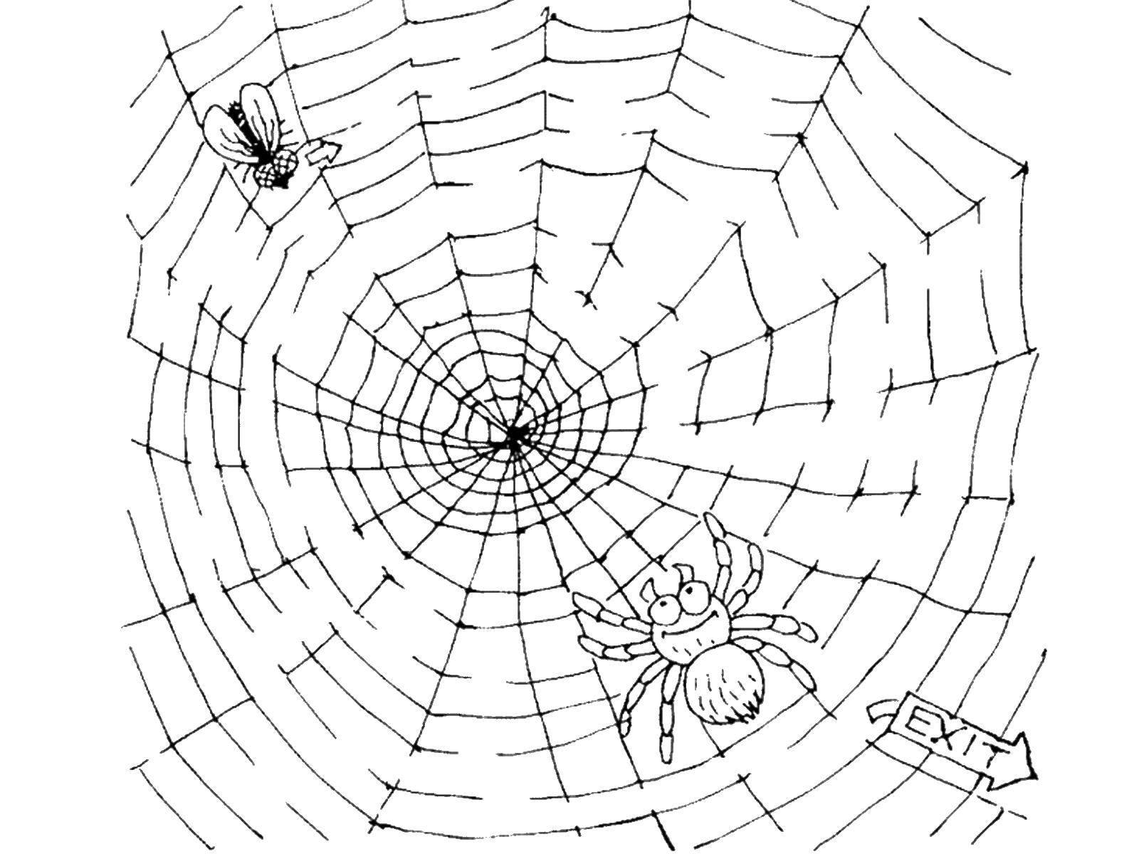 Название: Раскраска Паук ловит муху. Категория: Насекомые. Теги: паук, муха.