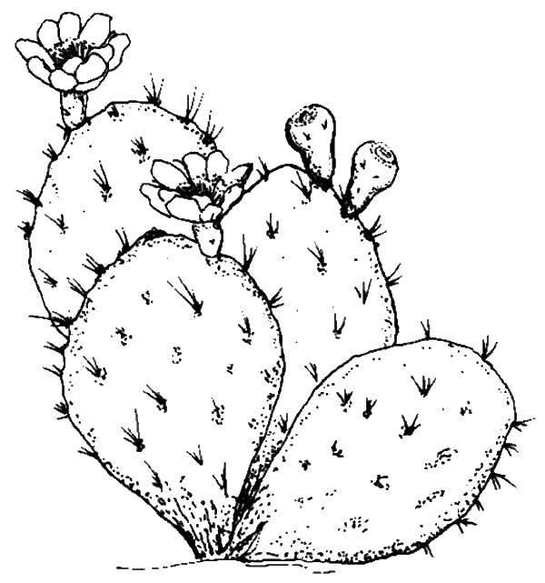 Раскраска Пустынное растение.. Скачать Цветы.  Распечатать ,Кактус,