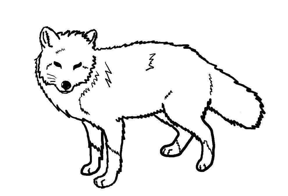 Раскраска Пушистая лисица Скачать Животные, лиса.  Распечатать ,Лисица,