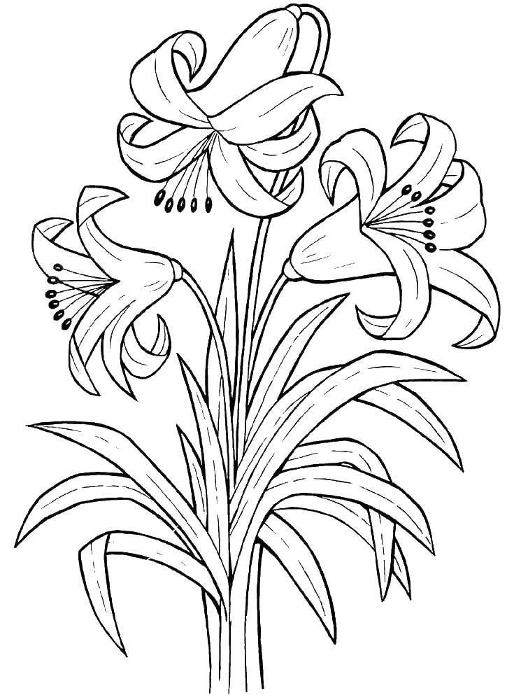 Раскраска Три красивые лилии Скачать цветы, растения, лилии.  Распечатать ,цветы,
