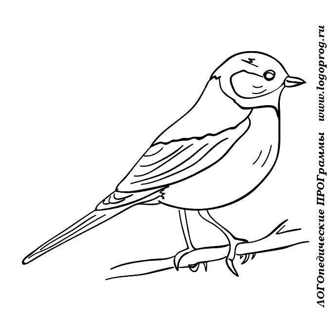 Раскраска Синичка села на ветку Скачать Птицы.  Распечатать ,птицы,