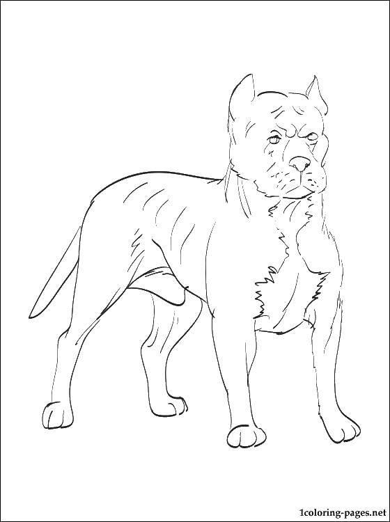 Раскраска Злой пес Скачать животные, собака, щенок, пес.  Распечатать ,Животные,