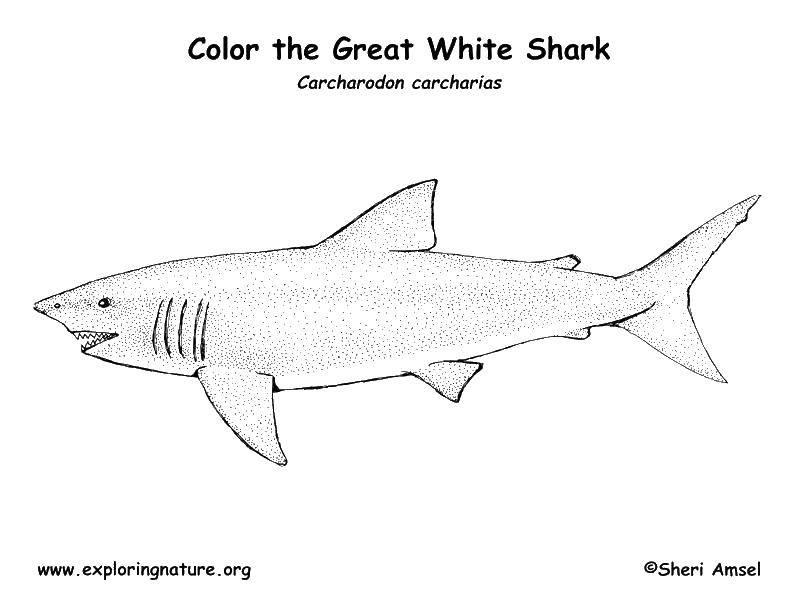раскраски акулы раскраска белая акула акулы