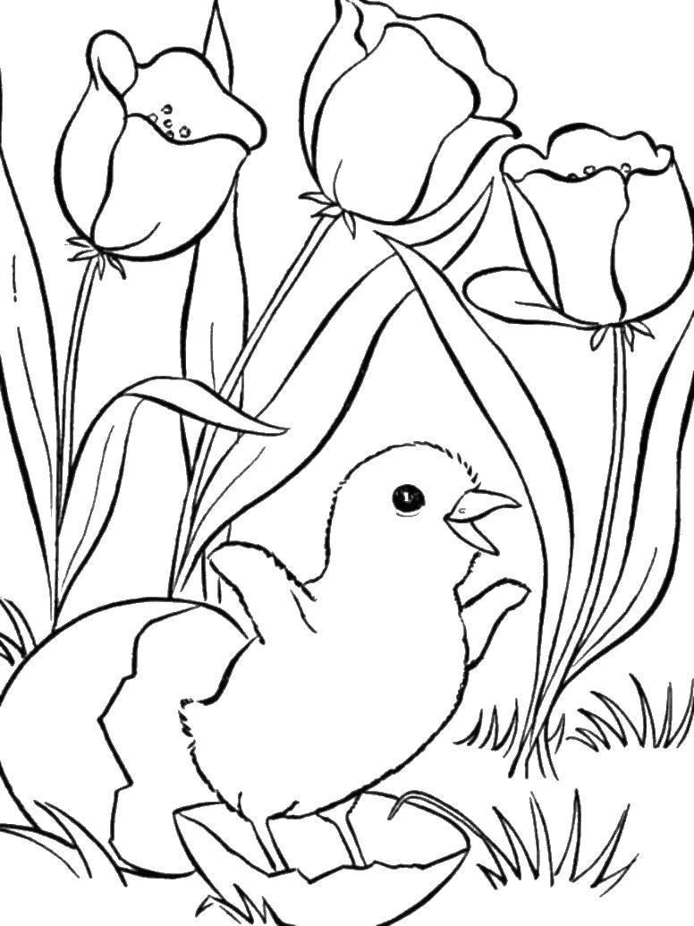 Название: Раскраска Цыпленок и тюльпаны. Категория: детеныши животных. Теги: цыпленок, скорлупа, тюльпаны.
