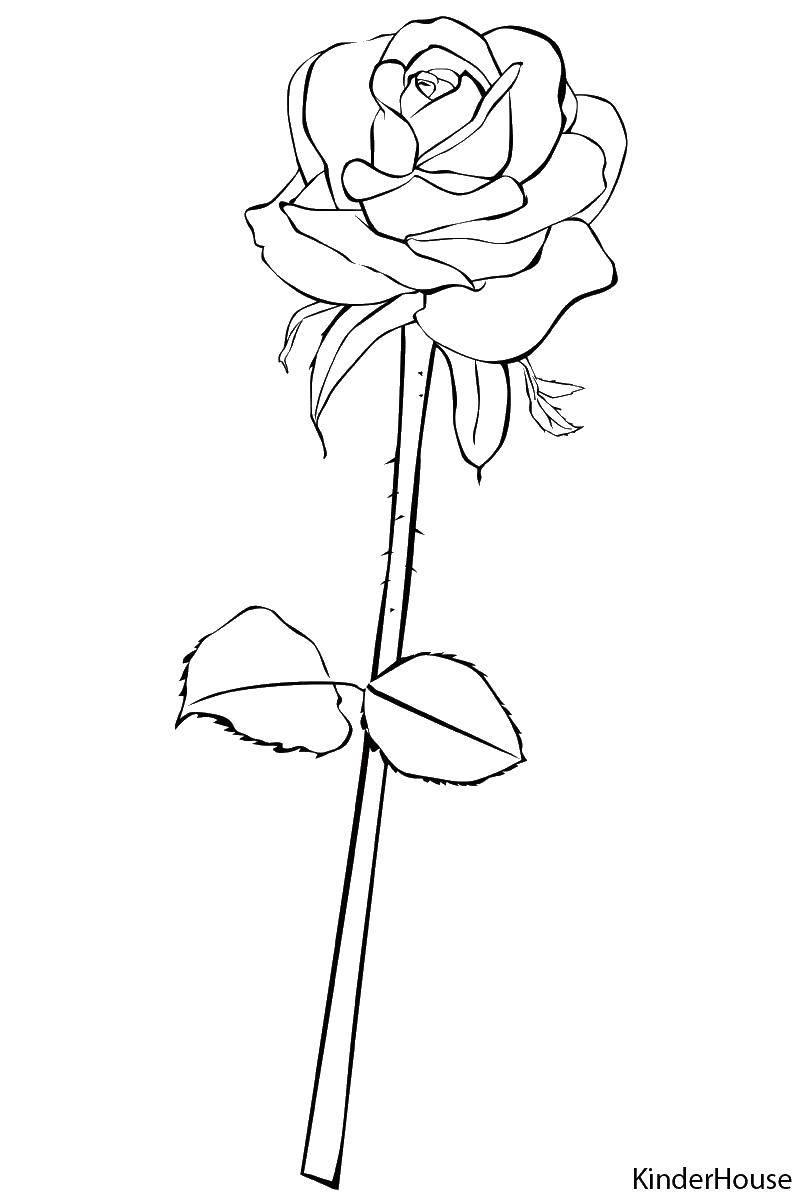 Раскраска Роза очень красивая Скачать Цветы, розы.  Распечатать ,цветы,