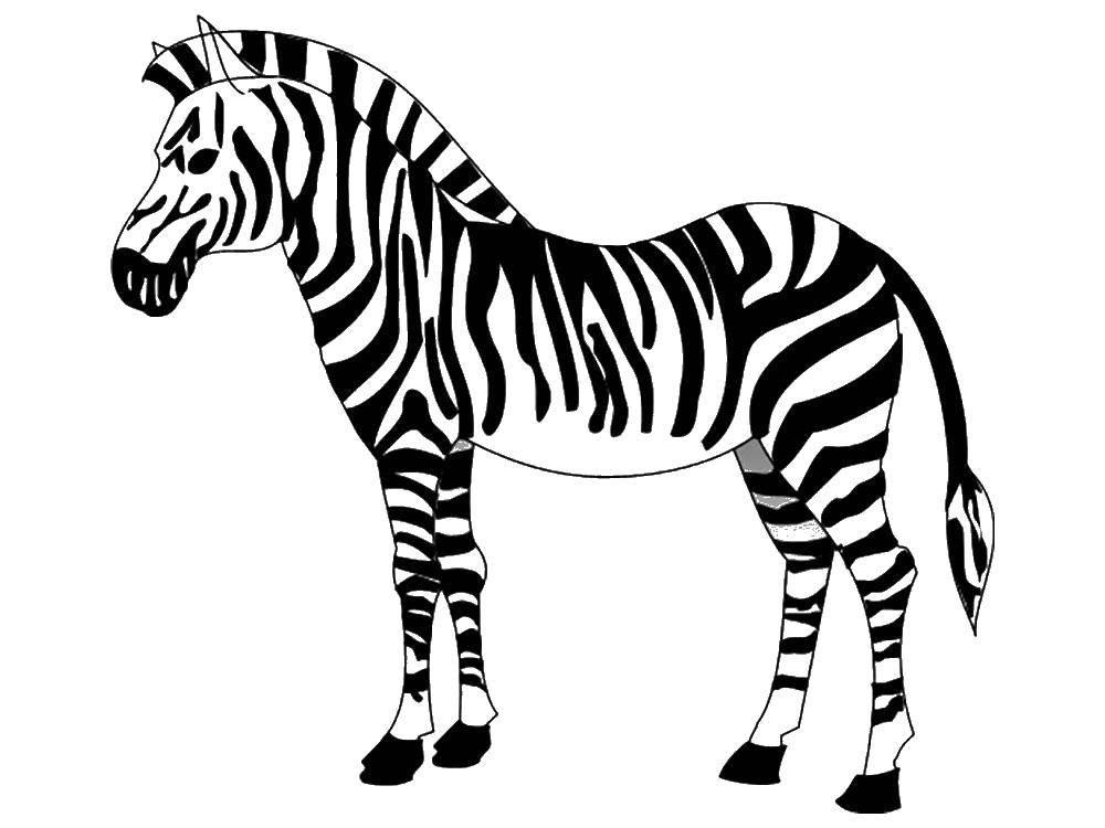 Раскраска Красивая зебра Скачать Животные, зебра.  Распечатать ,зебра,