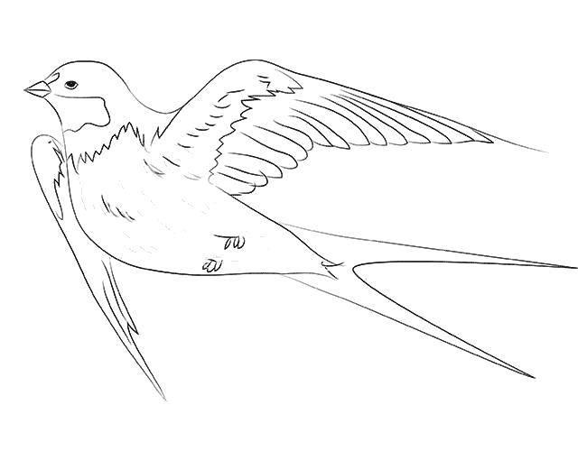 Раскраска Двойной хвост ласточки Скачать Птицы.  Распечатать ,ласточка,