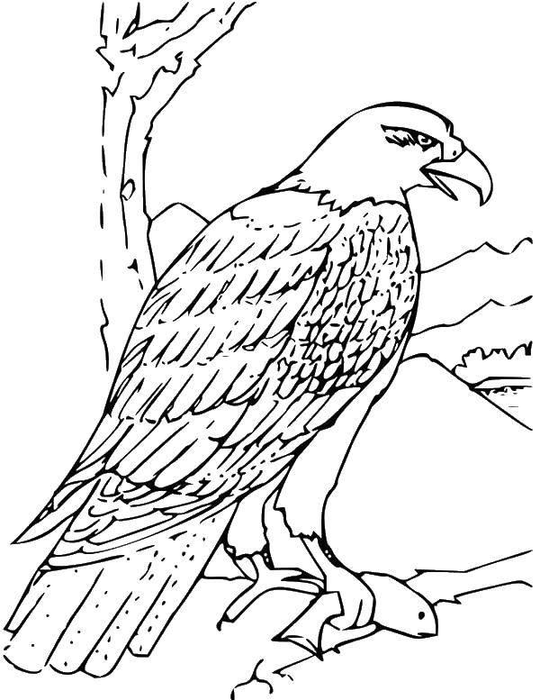 Раскраска Добыча орла Скачать Птицы.  Распечатать ,птицы,