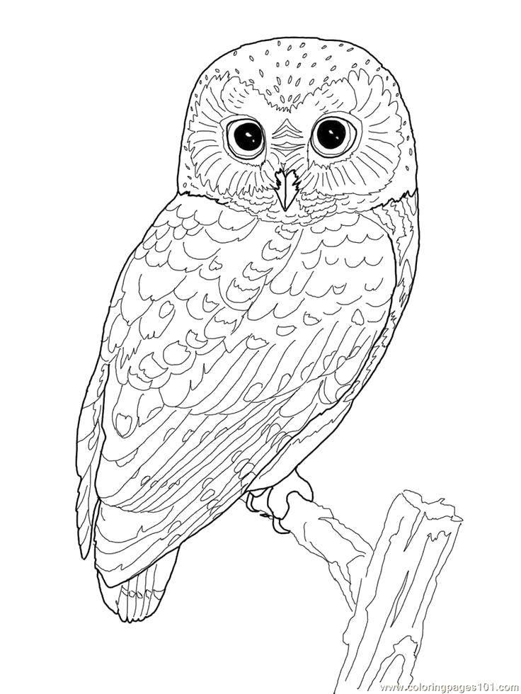Раскраска Мудрая сова на ветке Скачать Птицы, сова.  Распечатать ,птицы,