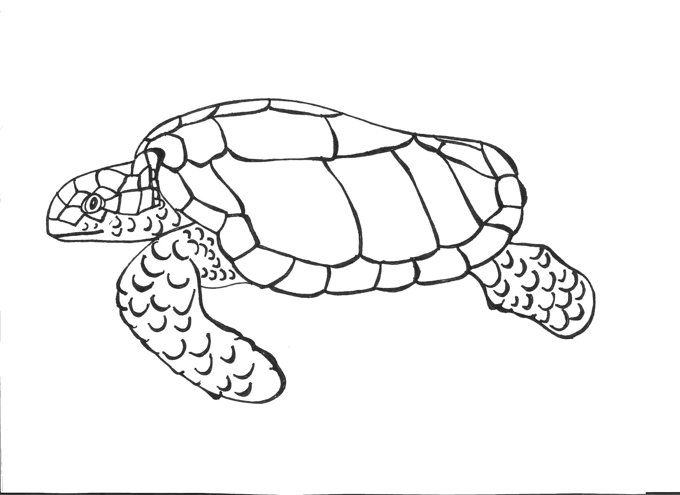 Раскраска Старая морская черепаха. Скачать Рептилия, черепаха.  Распечатать ,Морская черепаха,