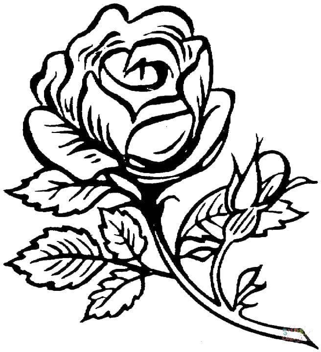Раскраска Роза с шипами. Скачать цветы, розы, розочки, шипы.  Распечатать ,цветы,