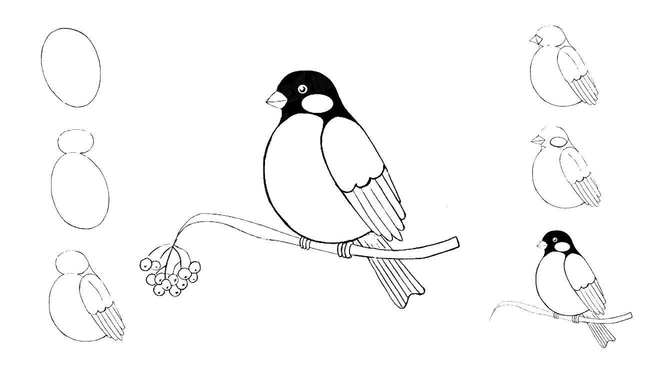 Раскраска Как нариосовать снегиря Скачать как нарисовать, животные, птички.  Распечатать ,как нарисовать поэтапно карандашом,