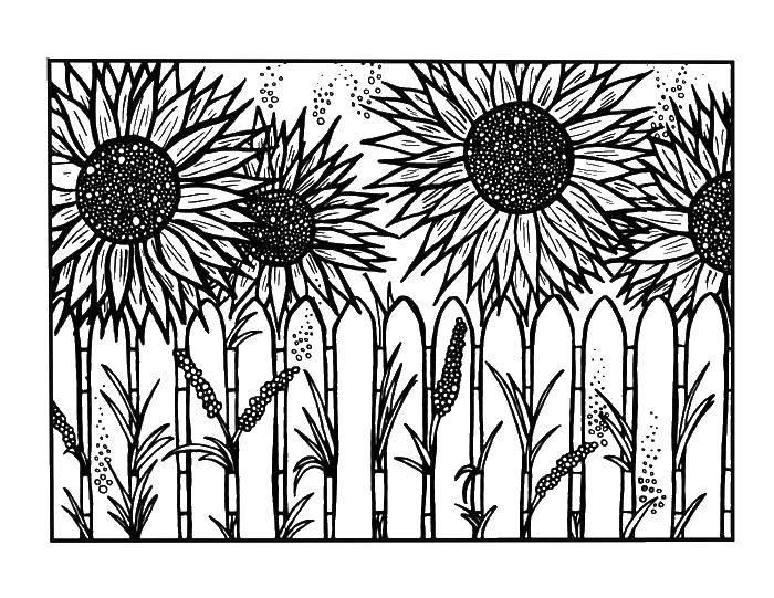 Раскраска Много подсолнухов. Скачать цветок, семечки, лепестки.  Распечатать ,цветы,