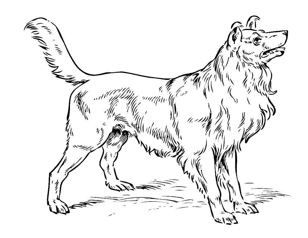 Раскраска Красивая длинношерстная собака Скачать Животные, собака.  Распечатать ,животные,