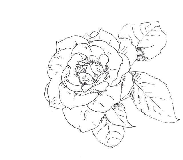 Раскраска Роза и её лепестки. Скачать Цветы, розы.  Распечатать ,цветы,