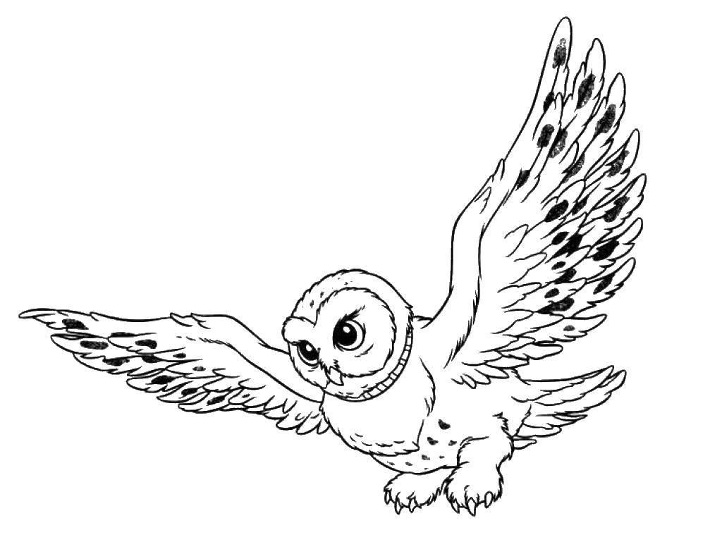 Раскраска Сова в полёте расправила крылья Скачать Птицы, сова.  Распечатать ,Дикие животные,