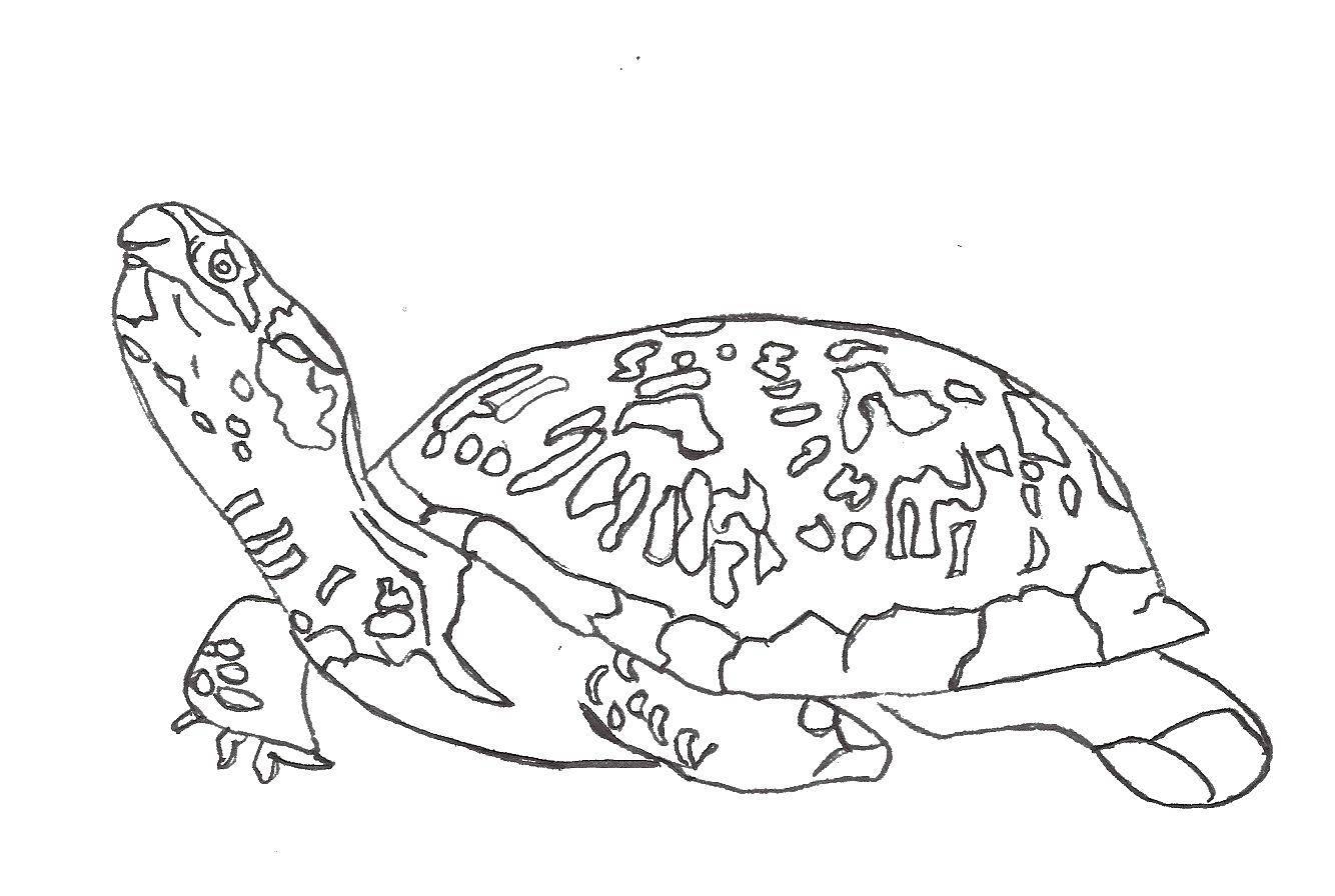 Раскраска Черепашка и панцирь Скачать черепаха, панцирь, голова.  Распечатать ,черепашки ниндзя,