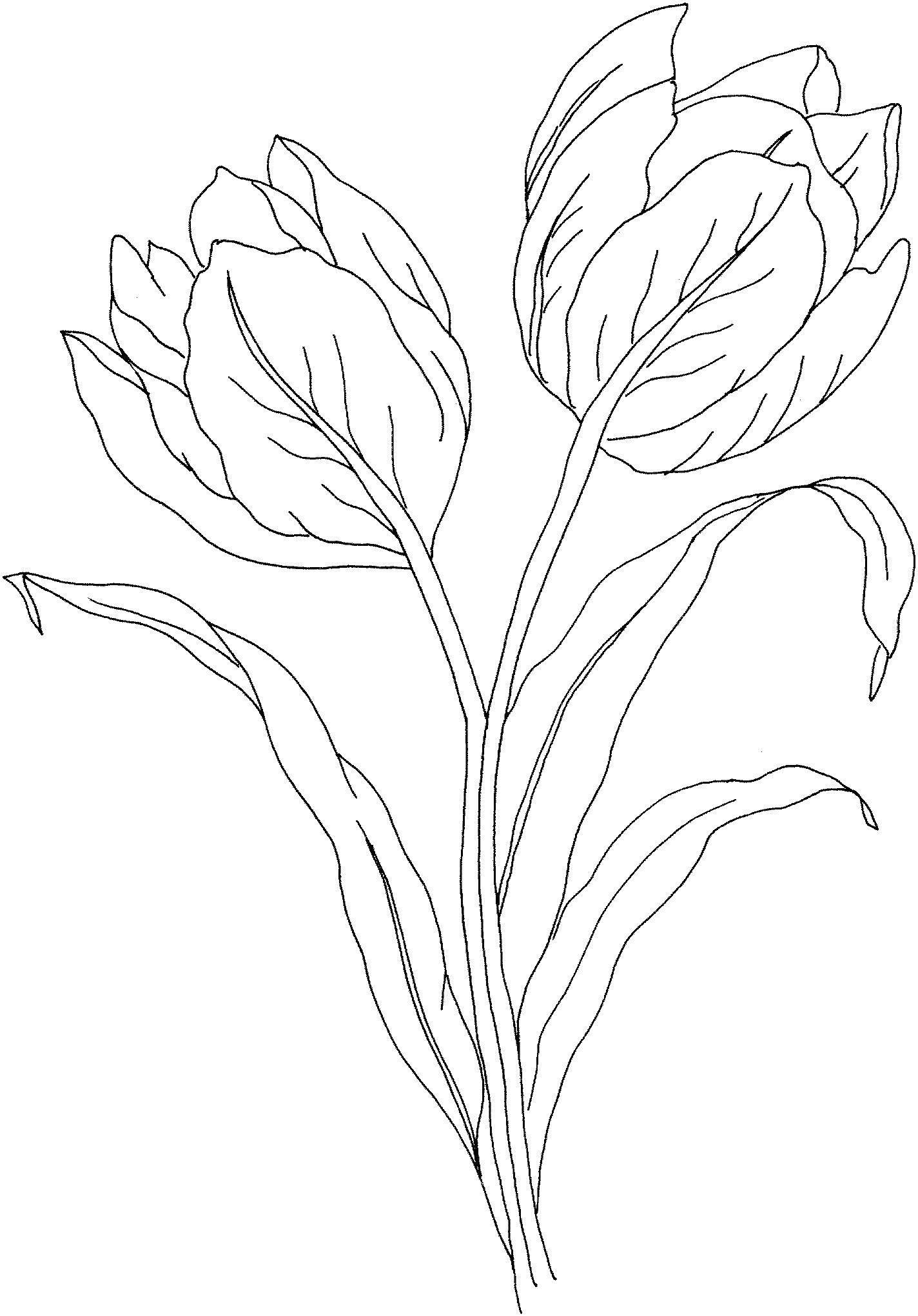 Раскраска Два вялых тюльпана. Скачать цветы, тюльпан, листок.  Распечатать ,цветы,