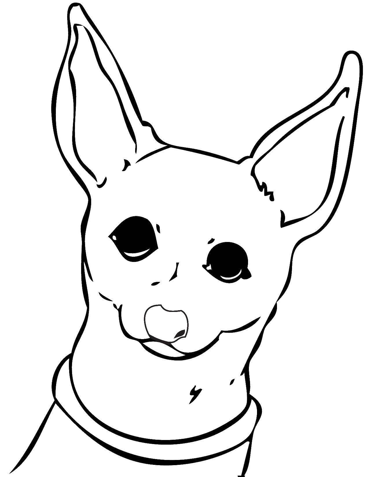 Раскраска Собака чихуахуа Скачать собака, чихуахуа, ушки.  Распечатать ,собаки,