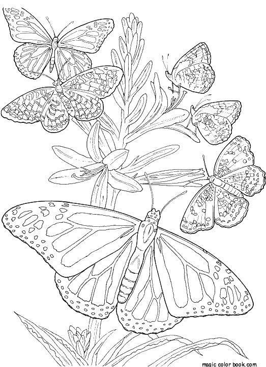 Раскраска Бабочки у растения. Скачать бабочки, насекомые, крылышки.  Распечатать ,бабочки,