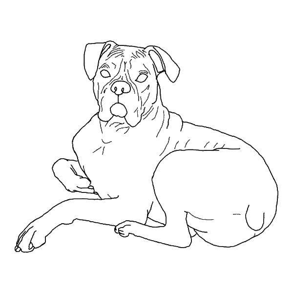 Раскраска Большой пёс. Скачать Животные, собака.  Распечатать ,Животные,