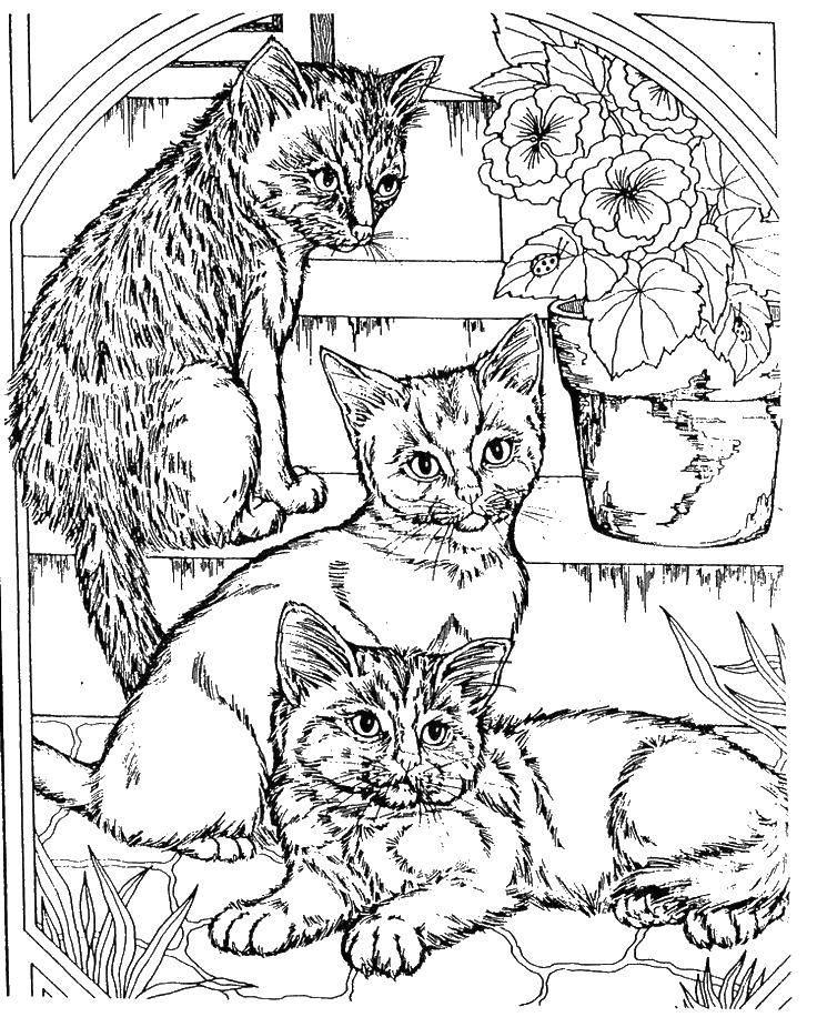 Раскраска Котята пушистики. Скачать Животные, котёнок.  Распечатать ,домашние животные,