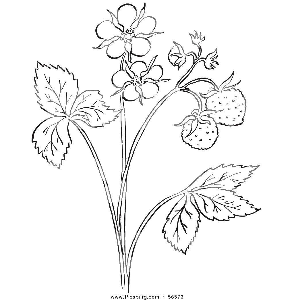 Раскраска Кустик землянички Скачать ягоды, земляника.  Распечатать ,ягоды,