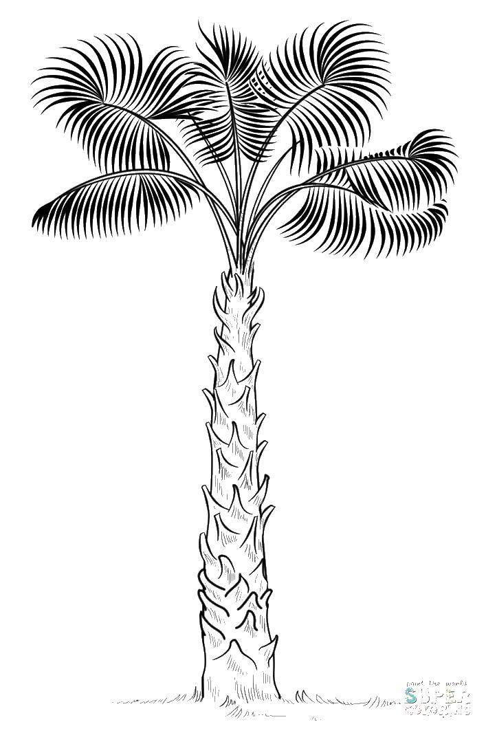 Раскраска Необычная пальма. Скачать Деревья, пальма.  Распечатать ,дерево,
