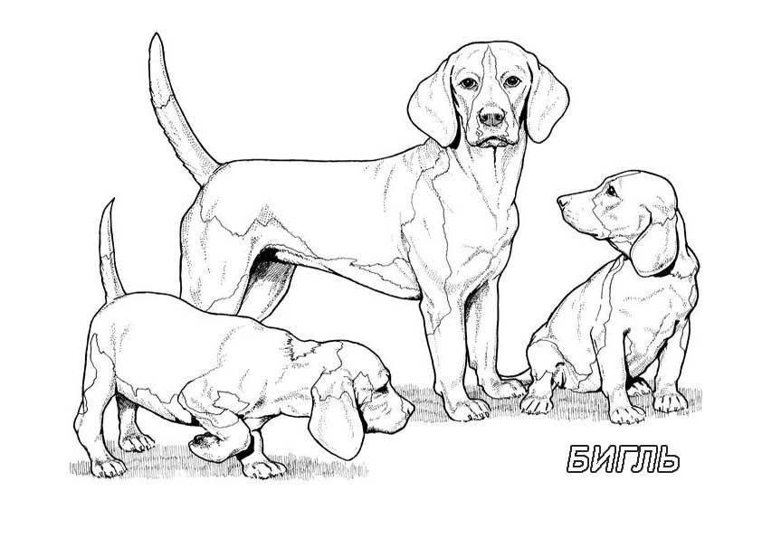 раскраски раскраска рисунок собак семейства бигль раскраски