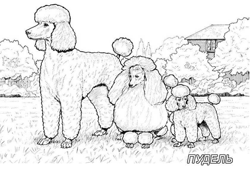 Раскраска Рисунок собак семейства пудель Скачать собака.  Распечатать ,домашние животные,
