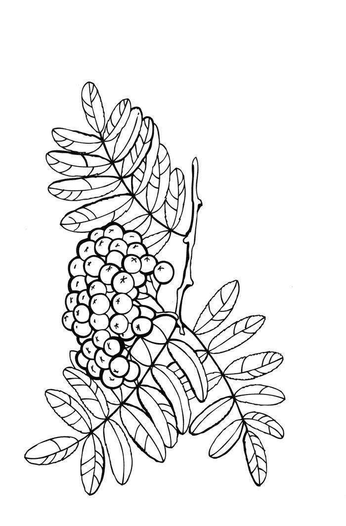 раскраски ягоды раскраска черника ягоды