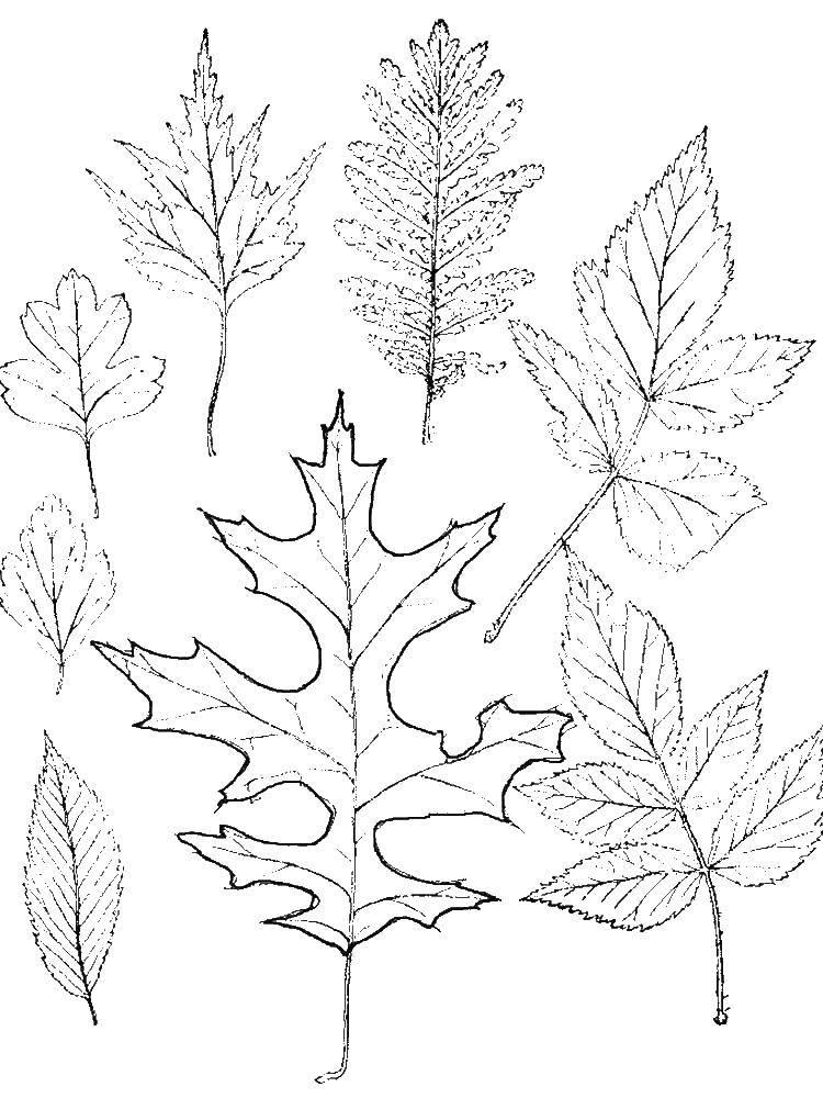 Раскраска Контуры листьев Скачать ,Ягоды,.  Распечатать