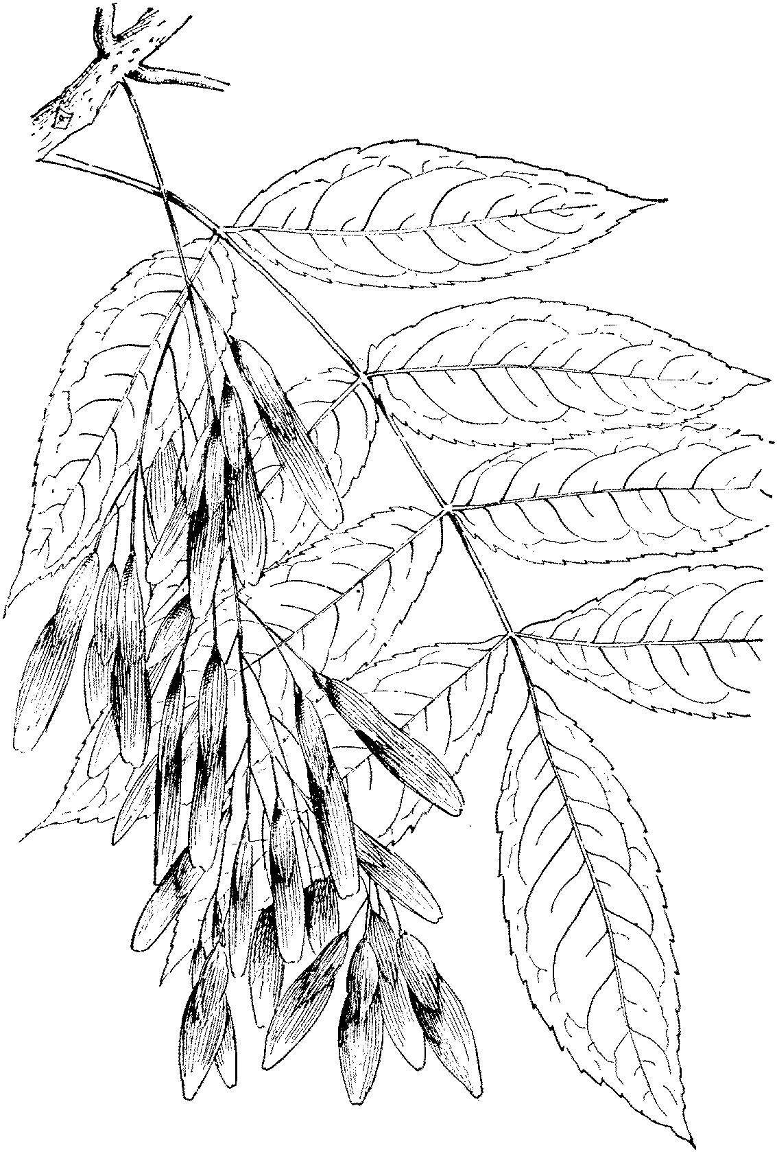 Раскраска листья Скачать ,ковер, логика,.  Распечатать