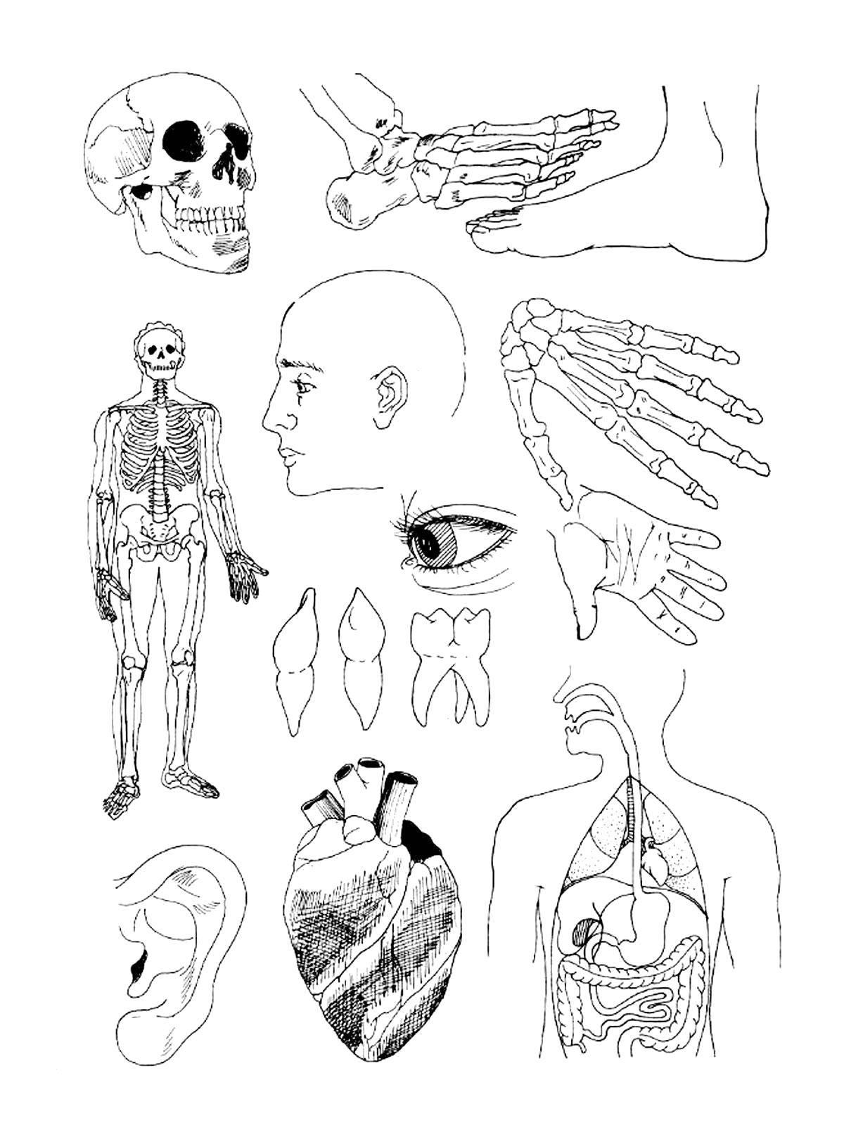 Раскраска Части тела человека Скачать Тело, человек.  Распечатать ,Строение тела,