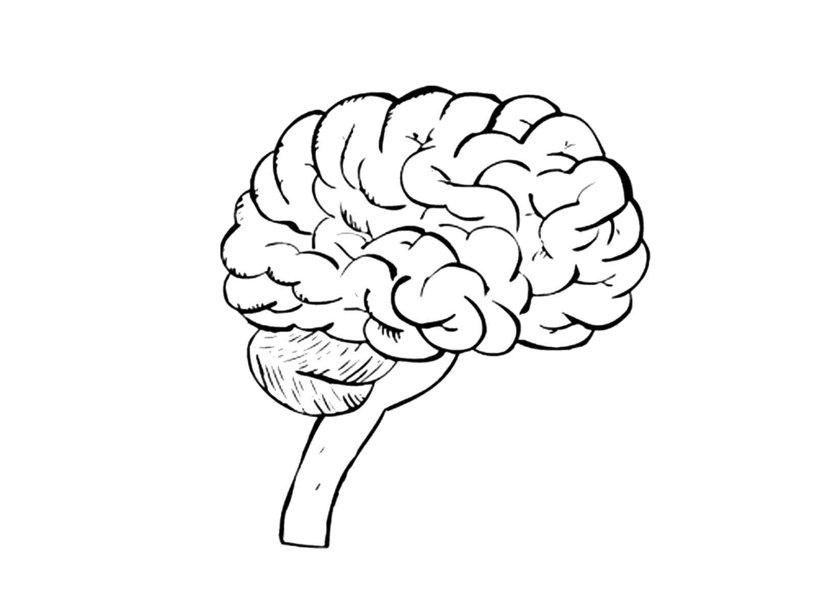 Раскраска Головной мозг и спинной Скачать Орган, мозг.  Распечатать ,Строение тела,