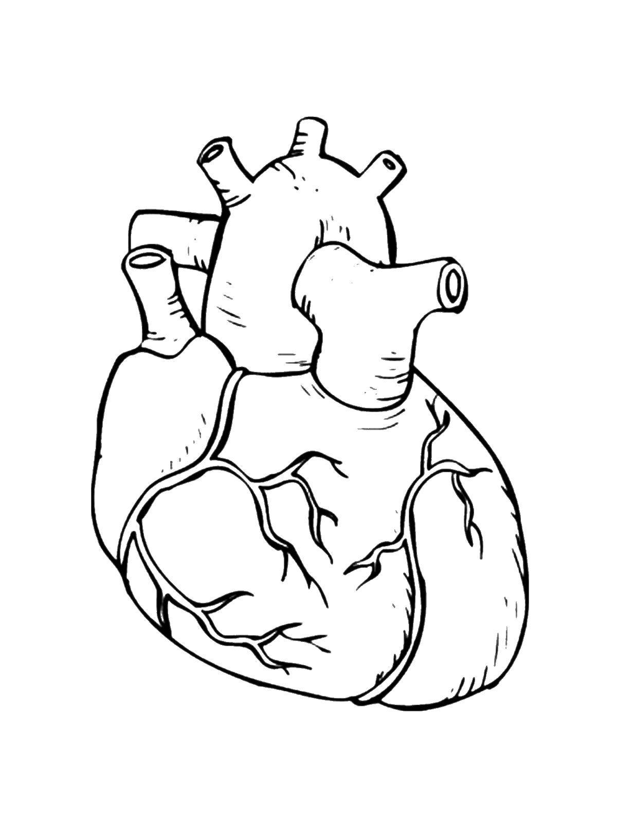 Раскраска Сердце Скачать Орган, сердце.  Распечатать ,Строение тела,