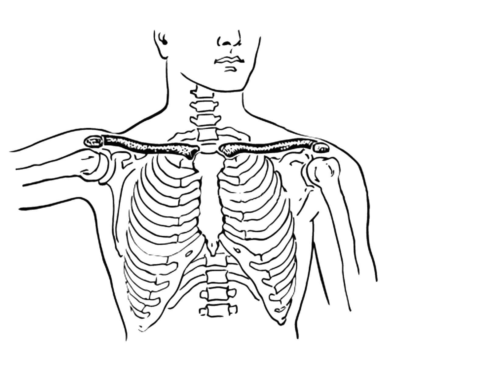 Раскраска Строение грудной клетки Скачать Тело, человек.  Распечатать ,Строение тела,