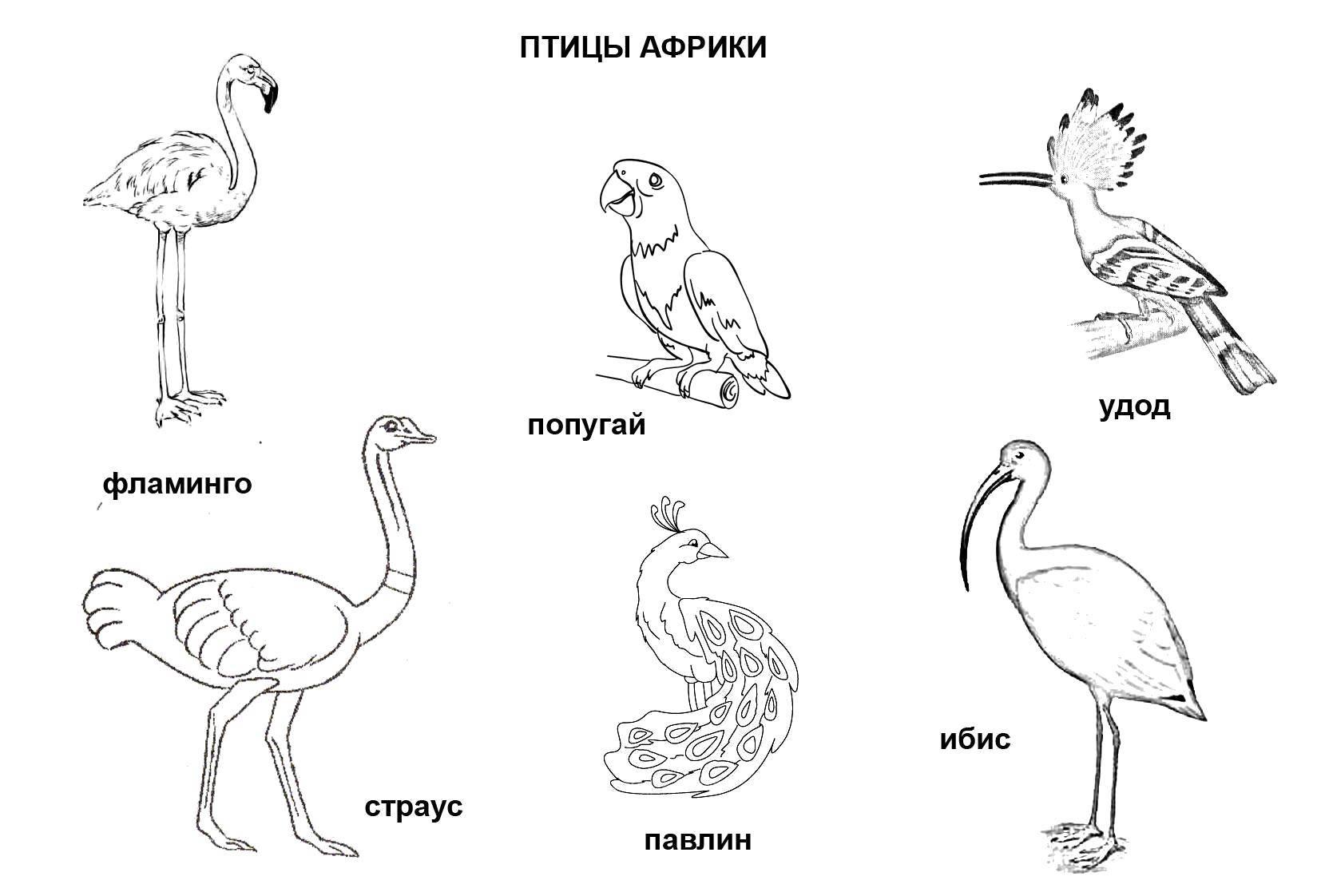 Раскраска Птицы африки Скачать Птицы.  Распечатать ,африка,