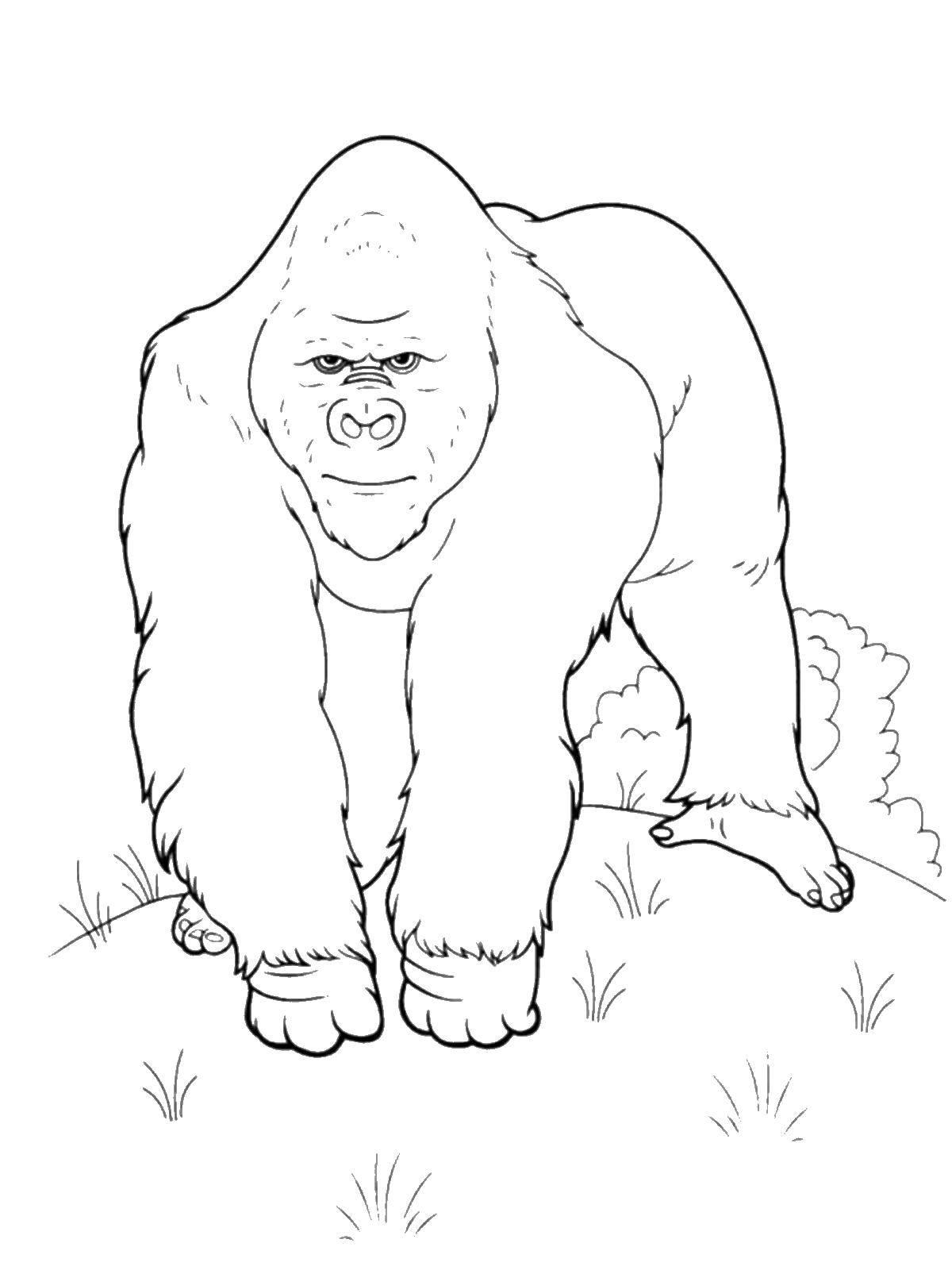 раскраски раскраска горилла скачать распечатать раскраски