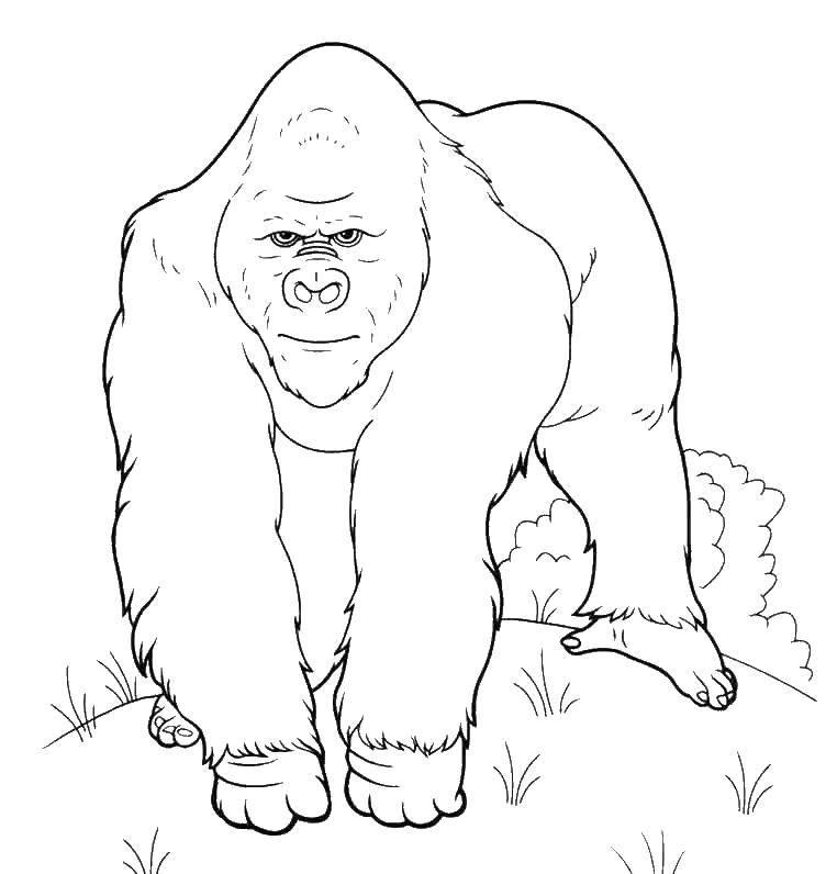 раскраски животные раскраска горилла дикие животные