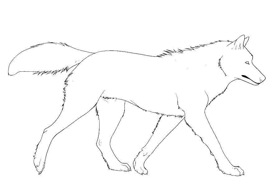 Раскраска Контур волка Скачать Контур, волк.  Распечатать ,контур волка,