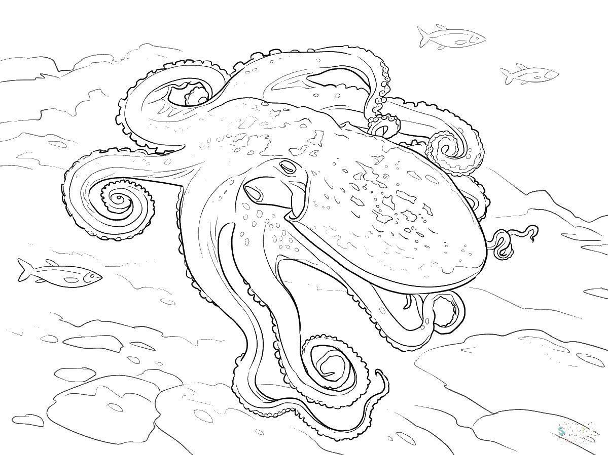 Раскраска осьминог Скачать .  Распечатать