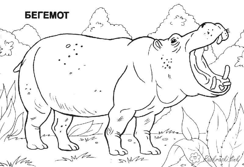 Раскраска Бегемот Скачать Животные, бегемот.  Распечатать ,Животные,