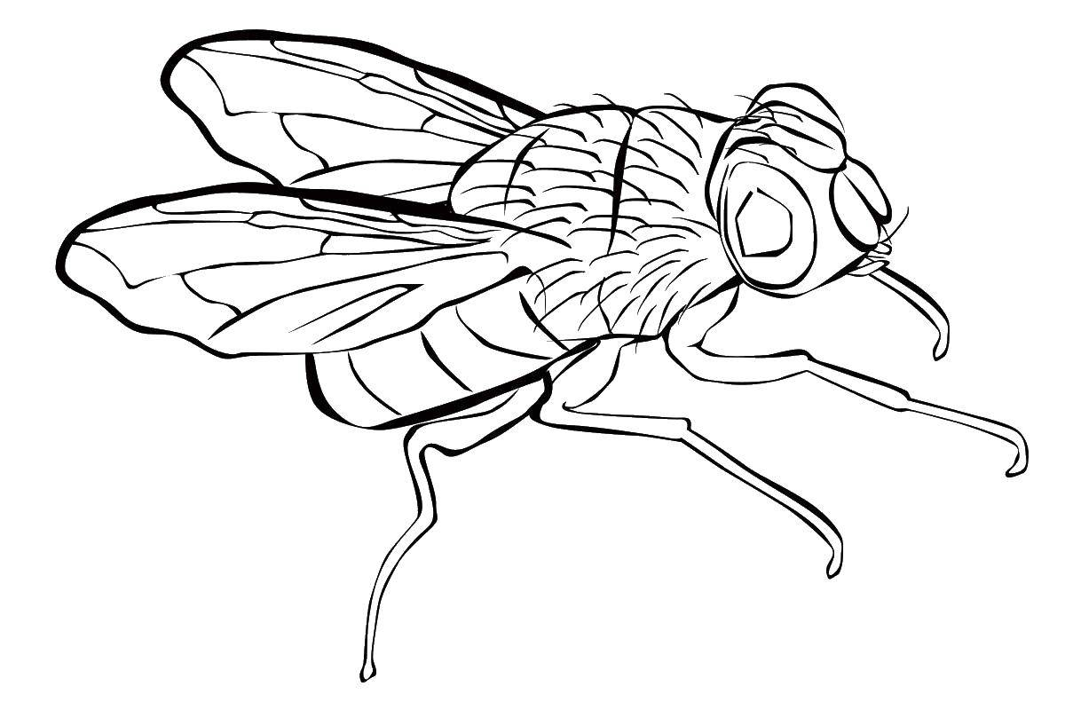 Раскраска Муха Скачать муха.  Распечатать ,Насекомые,