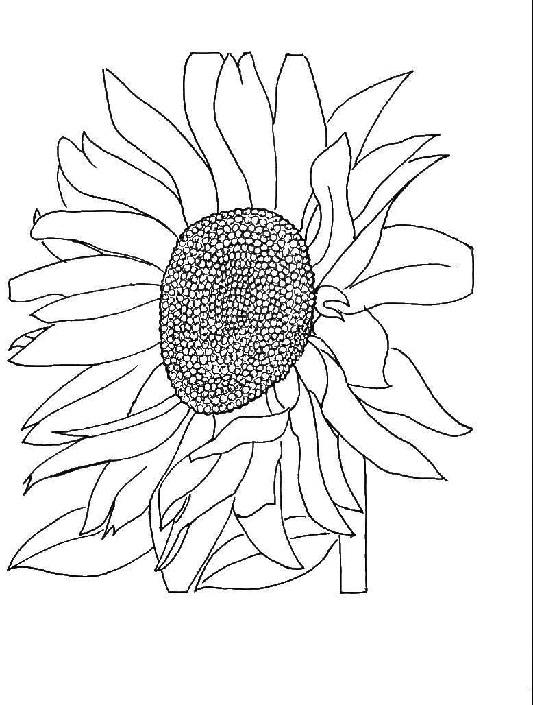 Раскраска Подсолнух любит солнце Скачать Цветы, подсолнух.  Распечатать ,цветы,