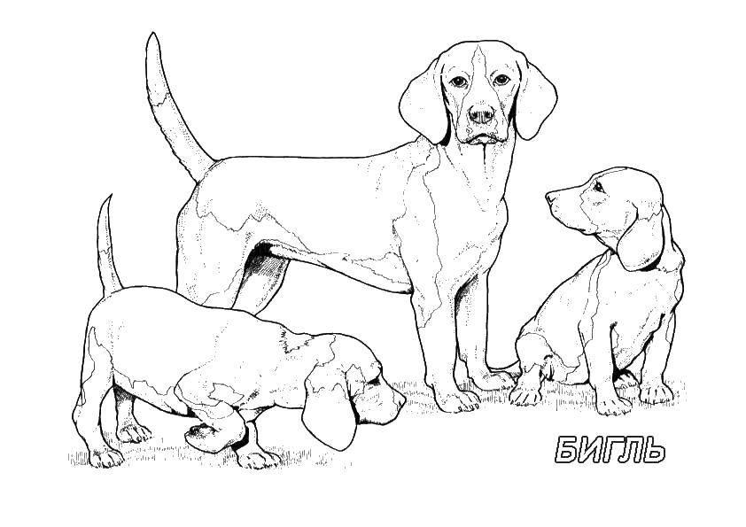 Раскраска Бигль Скачать бигль, собака.  Распечатать ,собаки всех пород,
