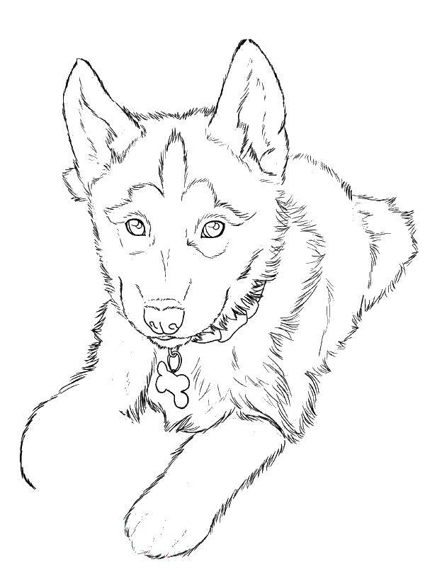 Раскраска собаки хаски Скачать Персонаж из мультфильма, Бен Тен.  Распечатать ,бен тен,