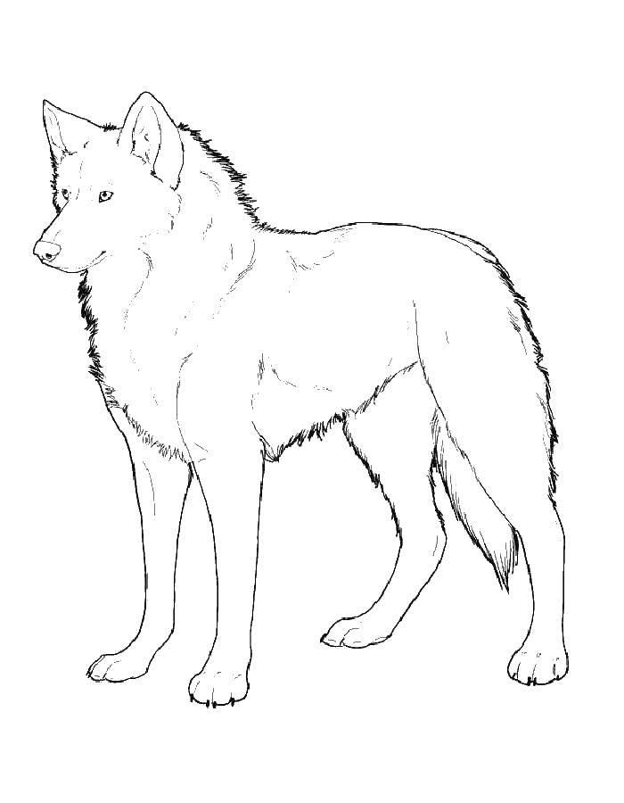 Раскраска волк Скачать .  Распечатать